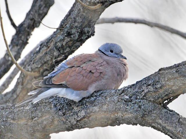 фото птиц в эльблонге серо-голубое завышенной